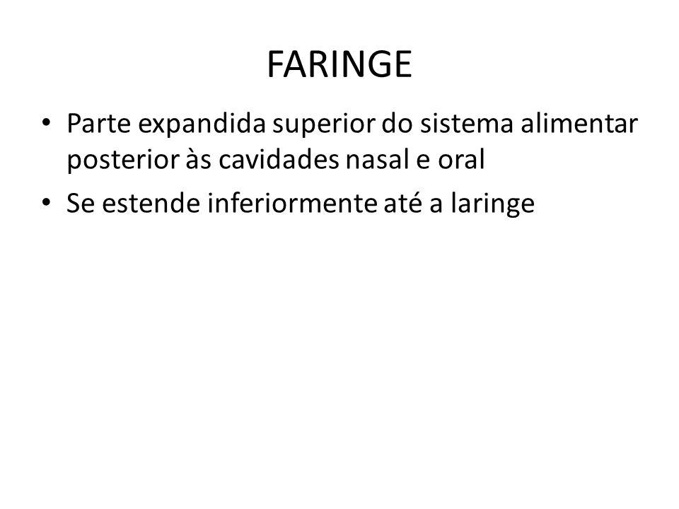 FARINGE Parte nasal da faringe: Tem função respiratória Situa-se posterior das cavidades nasais Possui tecido linfóide formando o anel tonsilar Tonsila faríngea situa-se no teto e parte posterior da faringe