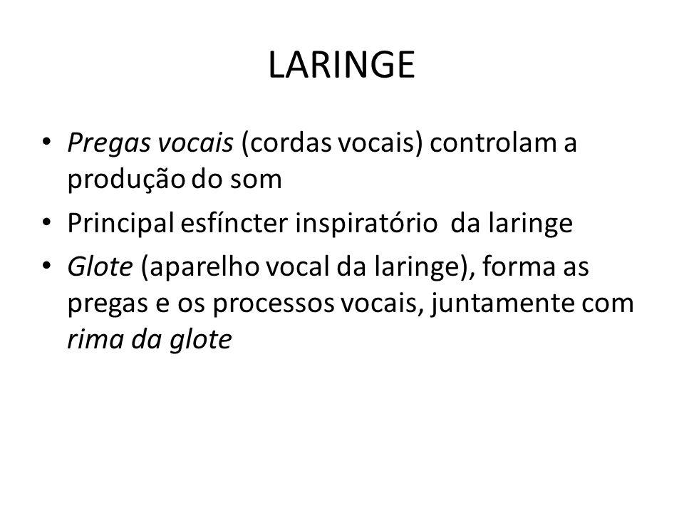 LARINGE Pregas vocais (cordas vocais) controlam a produção do som Principal esfíncter inspiratório da laringe Glote (aparelho vocal da laringe), forma
