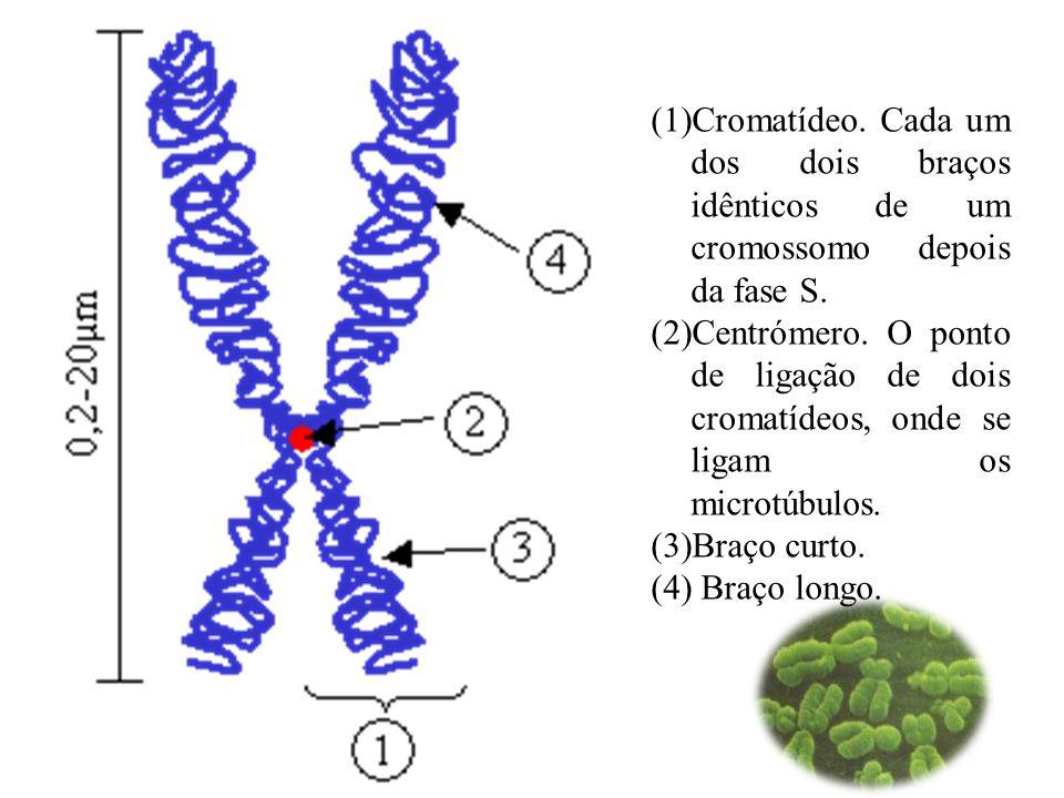 (1)Cromatídeo.Cada um dos dois braços idênticos de um cromossomo depois da fase S.