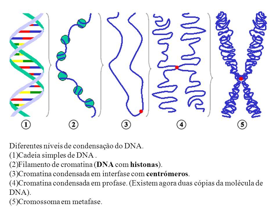 Diferentes níveis de condensação do DNA.(1)Cadeia simples de DNA.