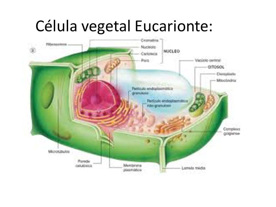 Célula vegetal Eucarionte: