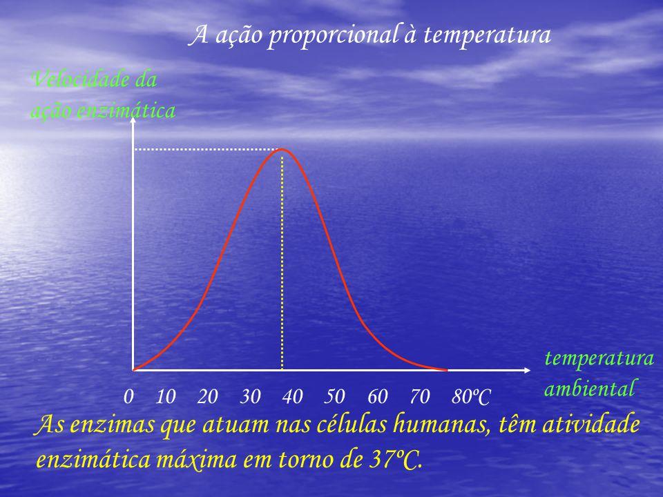 A ação proporcional à temperatura 0 10 20 30 40 50 60 70 80ºC temperatura ambiental Velocidade da ação enzimática As enzimas que atuam nas células humanas, têm atividade enzimática máxima em torno de 37ºC.