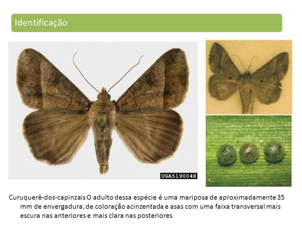 Curuquerê-dos-capinzais O adulto dessa espécie é uma mariposa de aproximadamente 35 mm de envergadura, de coloração acinzentada e asas com uma faixa transversal mais escura nas anteriores e mais clara nas posteriores Identificação