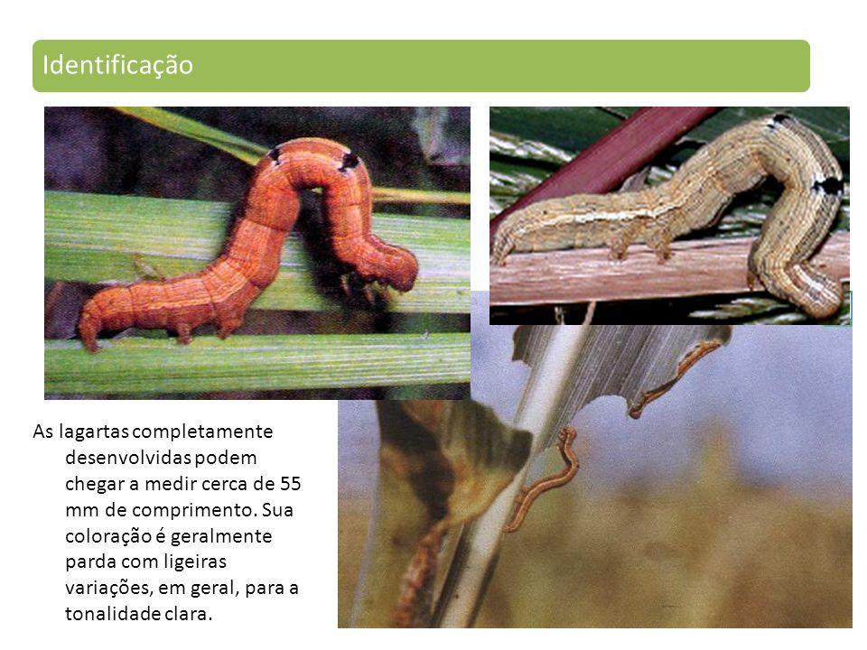 As lagartas completamente desenvolvidas podem chegar a medir cerca de 55 mm de comprimento.