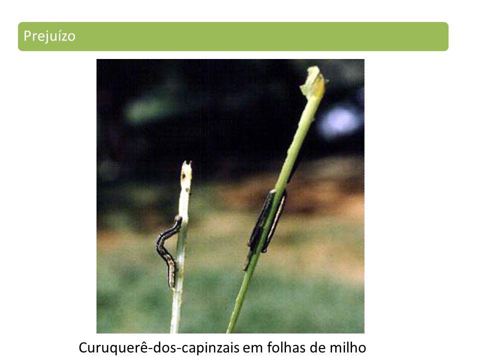 Curuquerê-dos-capinzais em folhas de milho