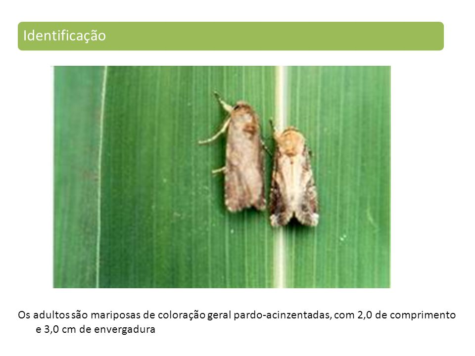 Os adultos são mariposas de coloração geral pardo-acinzentadas, com 2,0 de comprimento e 3,0 cm de envergadura Identificação