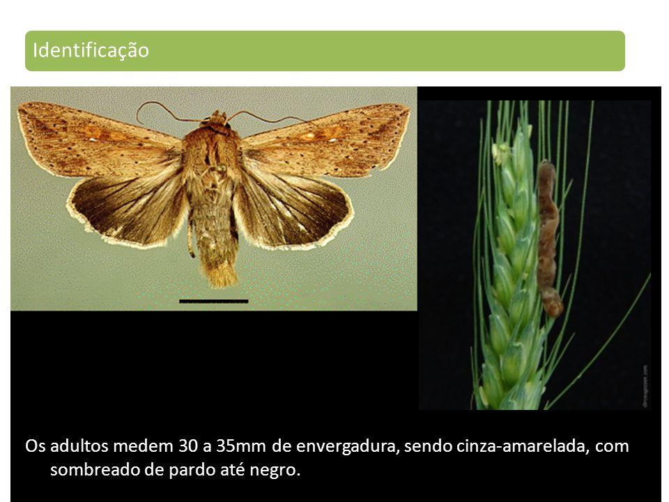 Identificação Os adultos medem 30 a 35mm de envergadura, sendo cinza-amarelada, com sombreado de pardo até negro.
