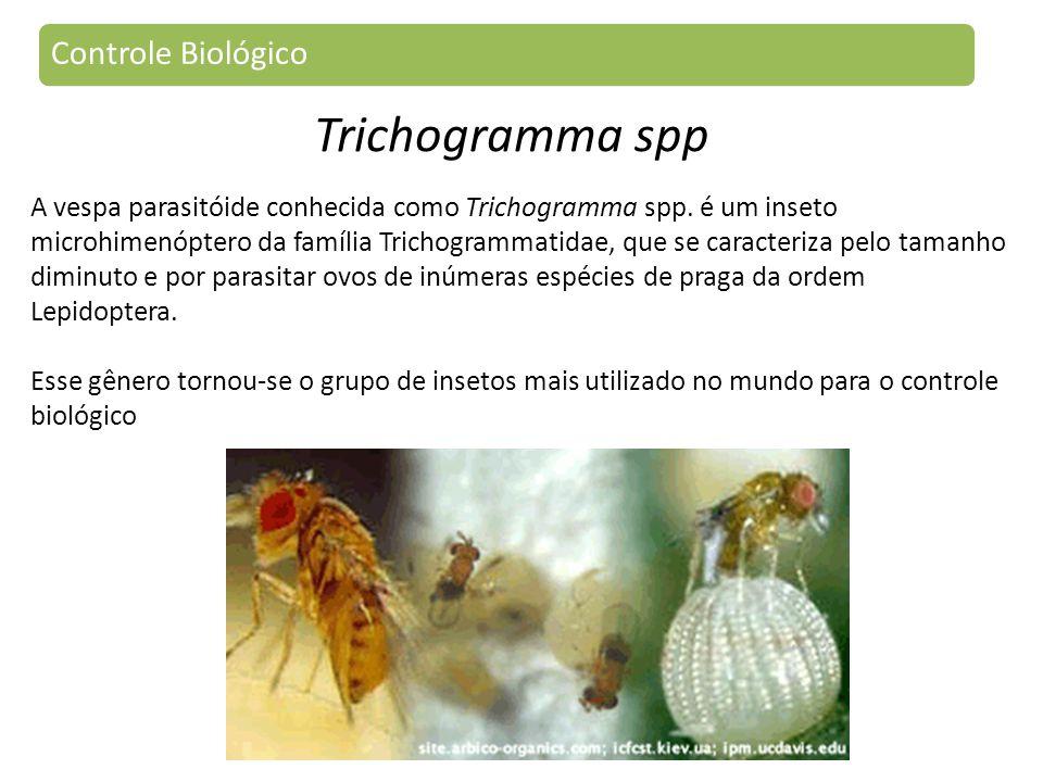 A vespa parasitóide conhecida como Trichogramma spp.