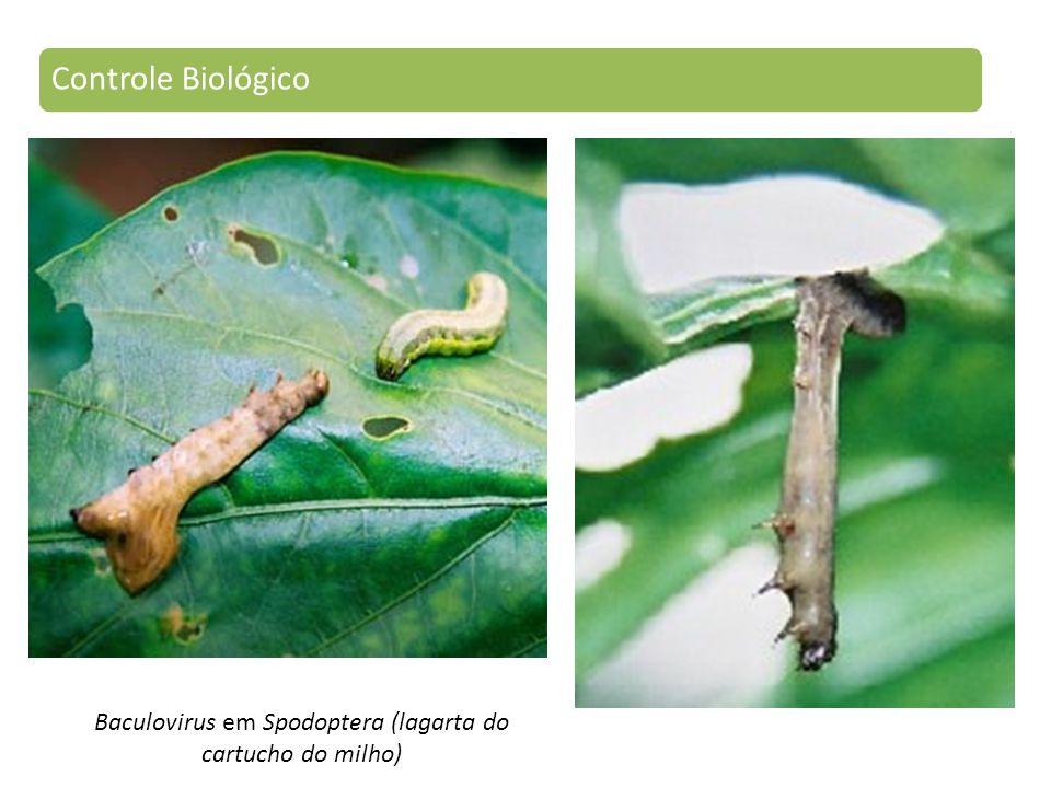 Baculovirus em Spodoptera (lagarta do cartucho do milho) Controle Biológico