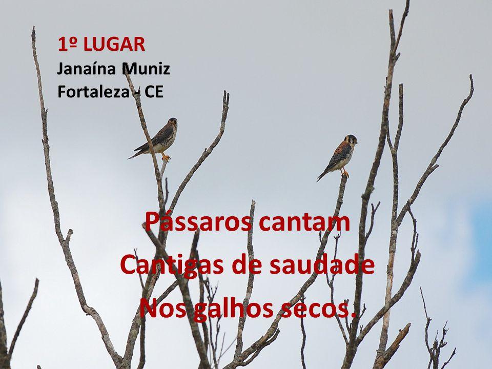 1º LUGAR Janaína Muniz Fortaleza - CE Pássaros cantam Cantigas de saudade Nos galhos secos.