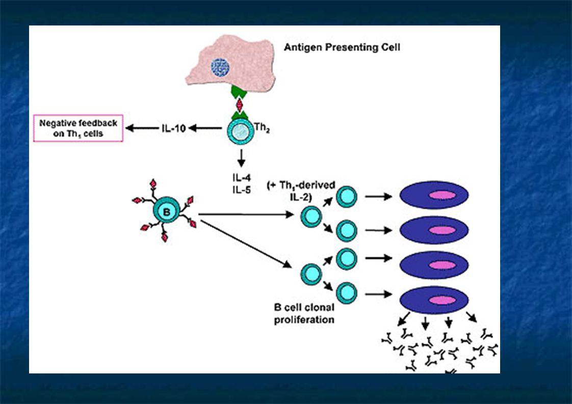 Mastócito  IL-4