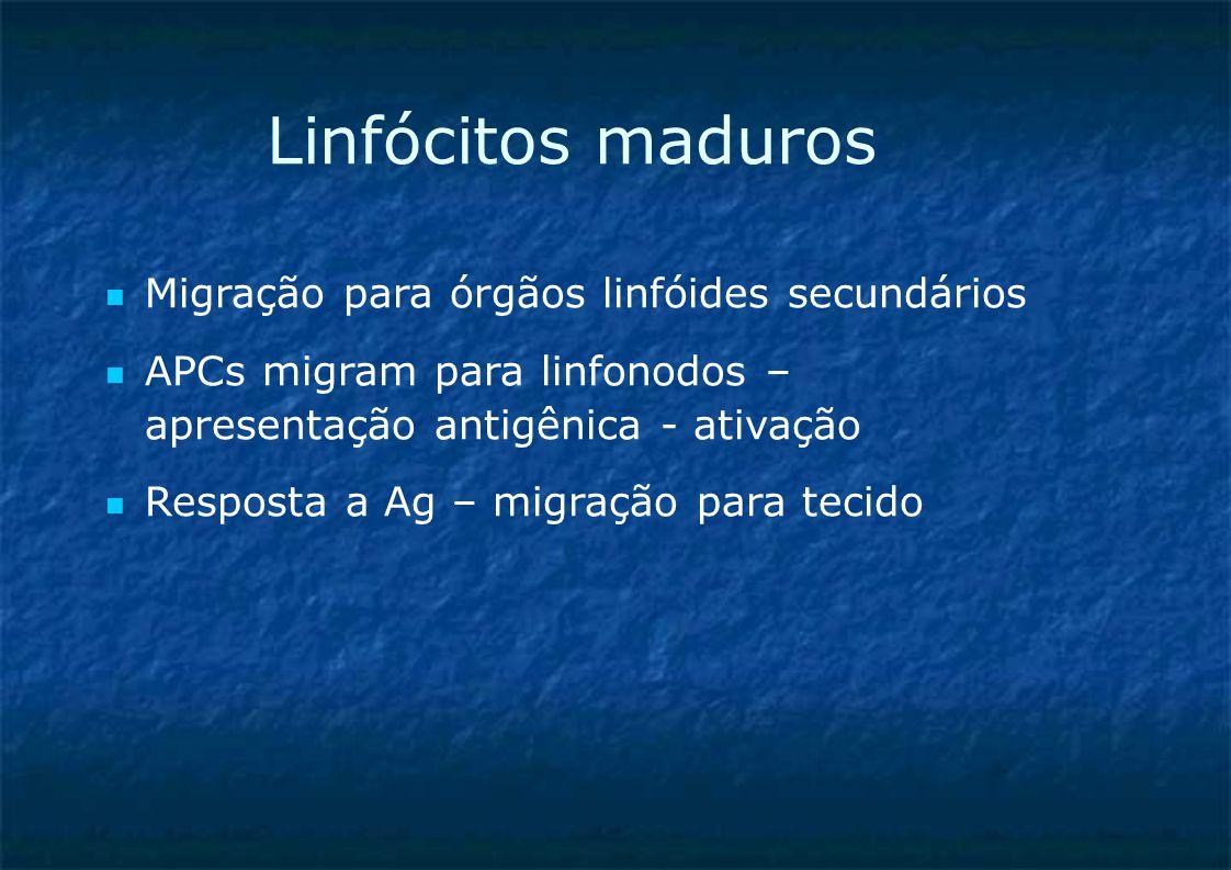Linfócitos maduros Migração para órgãos linfóides secundários APCs migram para linfonodos – apresentação antigênica - ativação Resposta a Ag – migração para tecido