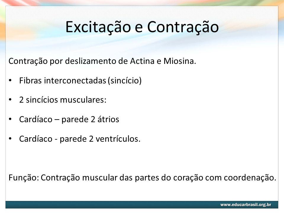 Excitação e Contração Contração por deslizamento de Actina e Miosina. Fibras interconectadas (sincício) 2 sincícios musculares: Cardíaco – parede 2 át