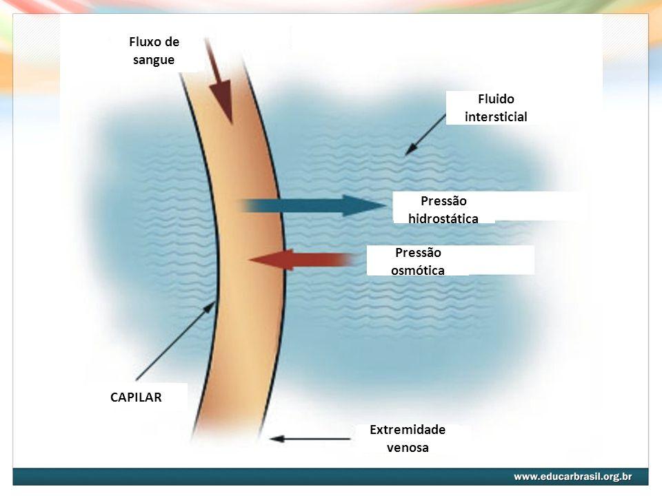 Fluxo de sangue Fluido intersticial Pressão hidrostática Pressão osmótica Extremidade venosa CAPILAR