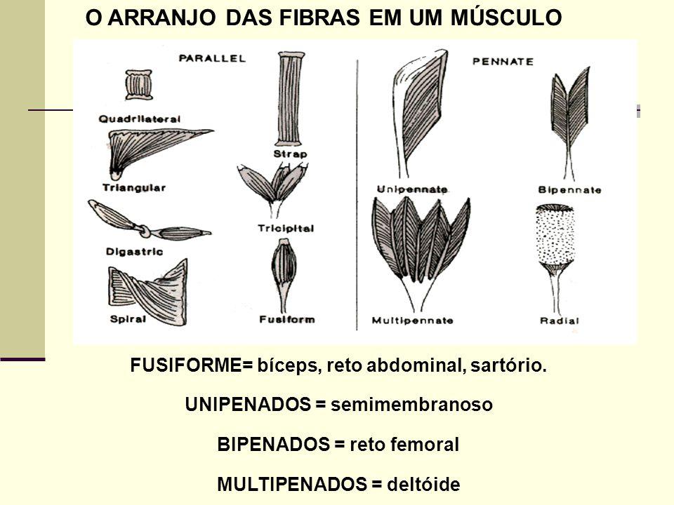 O ARRANJO DAS FIBRAS EM UM MÚSCULO FUSIFORME= bíceps, reto abdominal, sartório. UNIPENADOS = semimembranoso BIPENADOS = reto femoral MULTIPENADOS = de