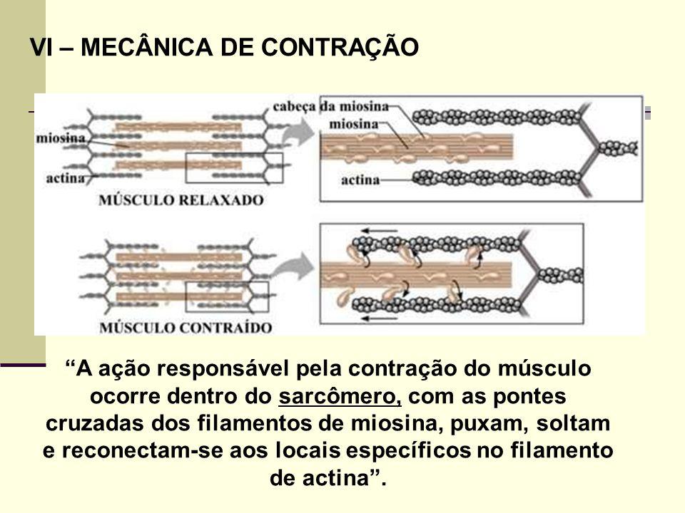 """VI – MECÂNICA DE CONTRAÇÃO """"A ação responsável pela contração do músculo ocorre dentro do sarcômero, com as pontes cruzadas dos filamentos de miosina,"""