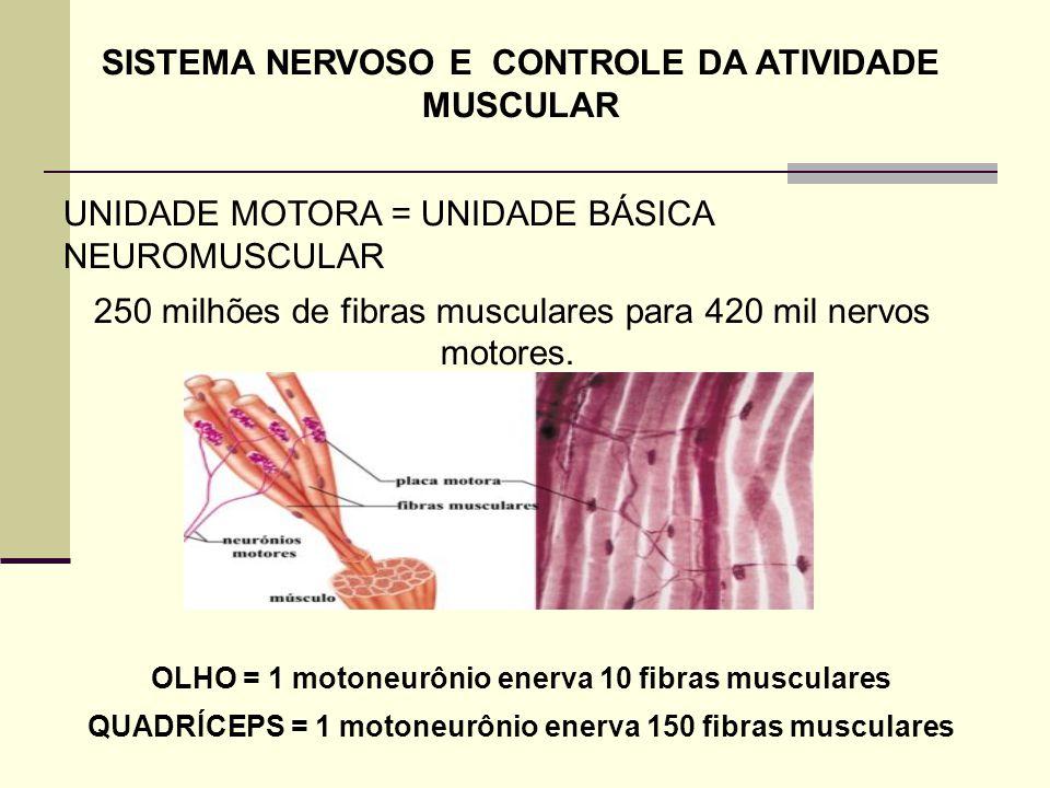 SISTEMA NERVOSO E CONTROLE DA ATIVIDADE MUSCULAR UNIDADE MOTORA = UNIDADE BÁSICA NEUROMUSCULAR 250 milhões de fibras musculares para 420 mil nervos mo