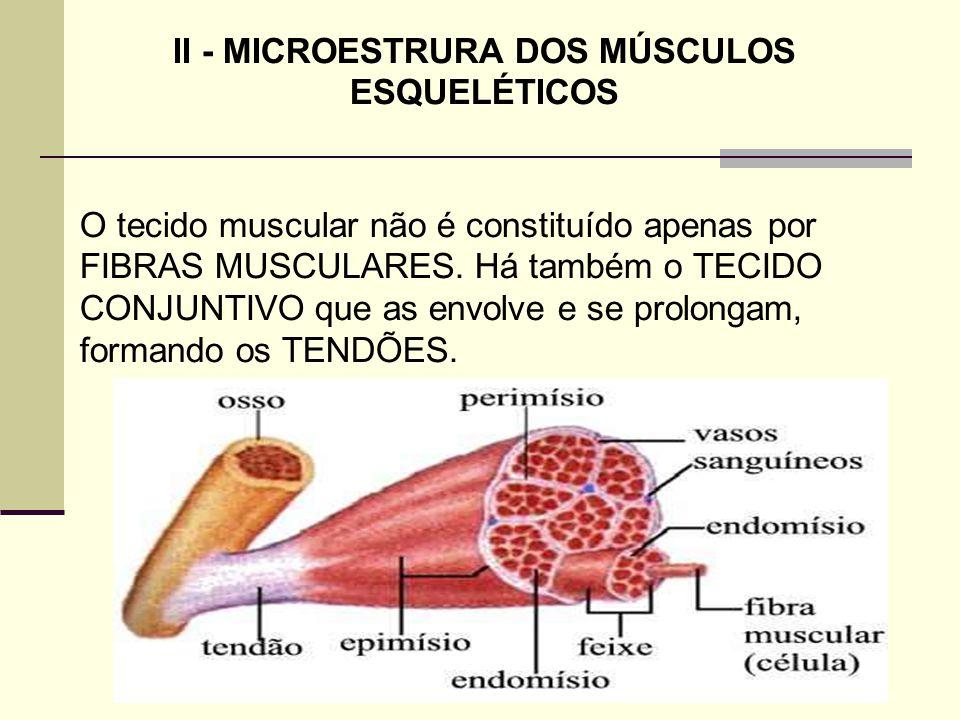 II - MICROESTRURA DOS MÚSCULOS ESQUELÉTICOS O tecido muscular não é constituído apenas por FIBRAS MUSCULARES. Há também o TECIDO CONJUNTIVO que as env