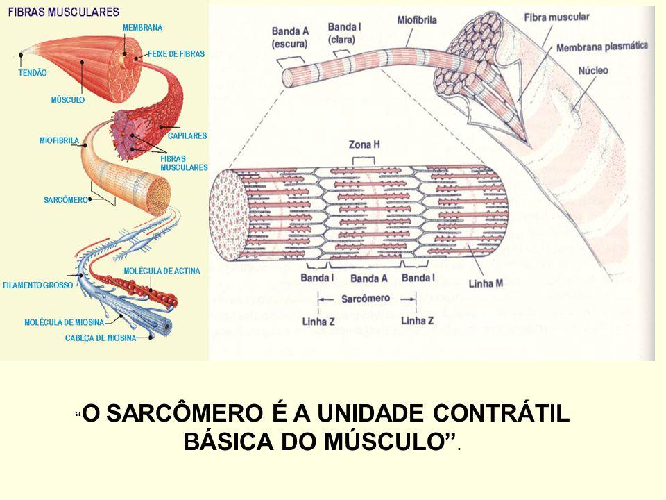 CONSTITUIÇÃO HISTOLÓGICA DA FIBRA MUSCULAR
