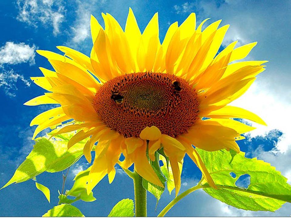 AMARELO O AMARELO é a cor da felicidade, do sol e das flores brillantes.