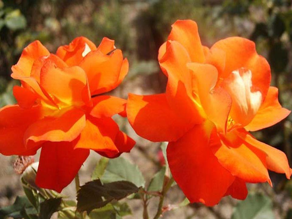 O VERMELHOé a cor do amor, do romance e da paixão, de rosas lindas e do sangue que nos dá a vida.