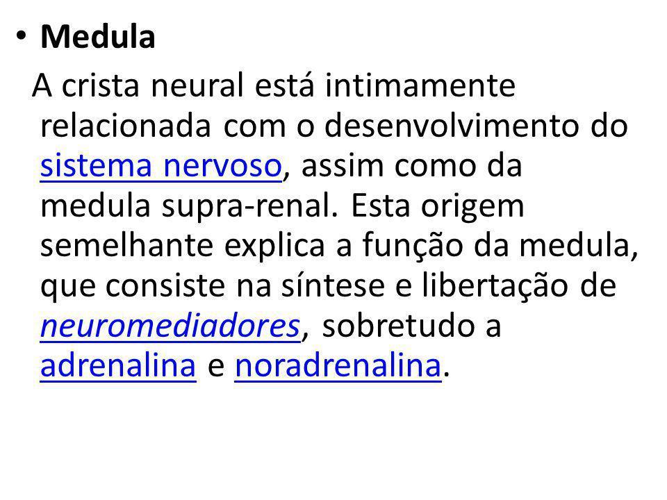 Medula A crista neural está intimamente relacionada com o desenvolvimento do sistema nervoso, assim como da medula supra-renal. Esta origem semelhante