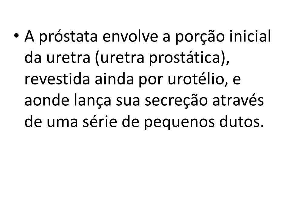 A próstata envolve a porção inicial da uretra (uretra prostática), revestida ainda por urotélio, e aonde lança sua secreção através de uma série de pe