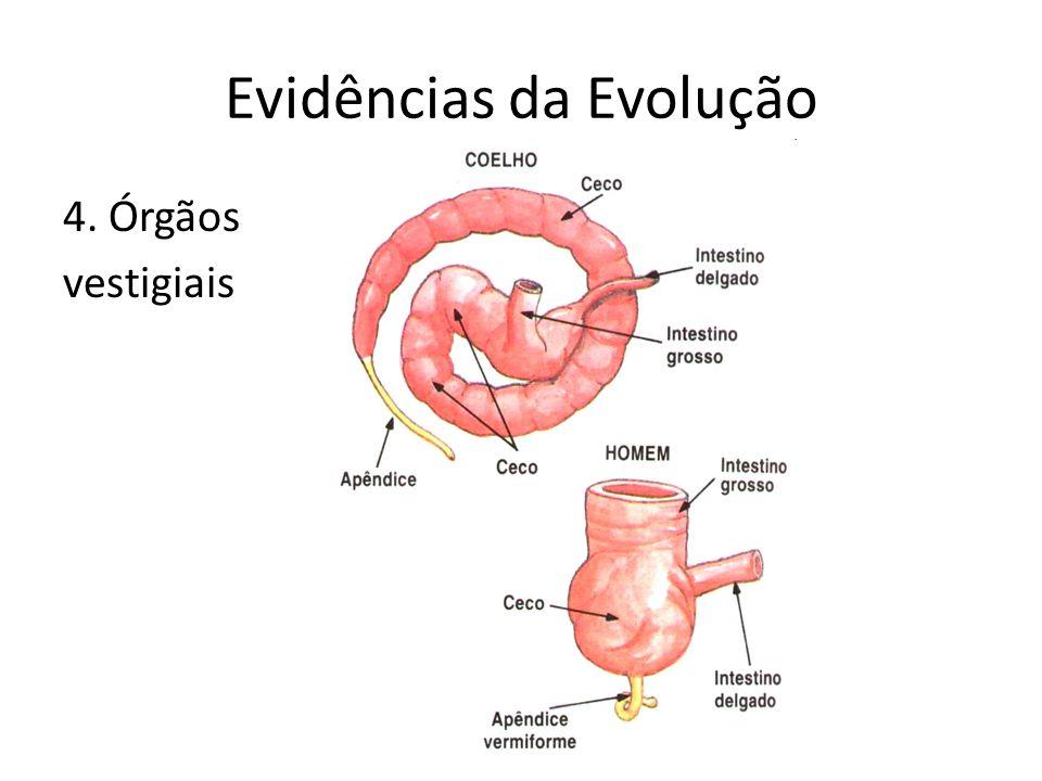 Evidências da Evolução 4. Órgãos vestigiais
