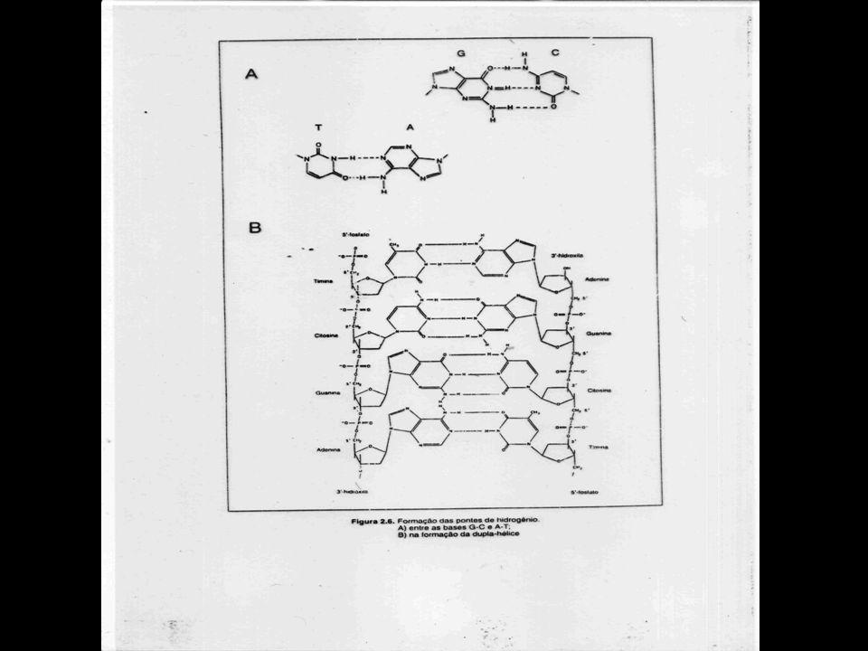 DNA: ESTRUTURA DETALHADA