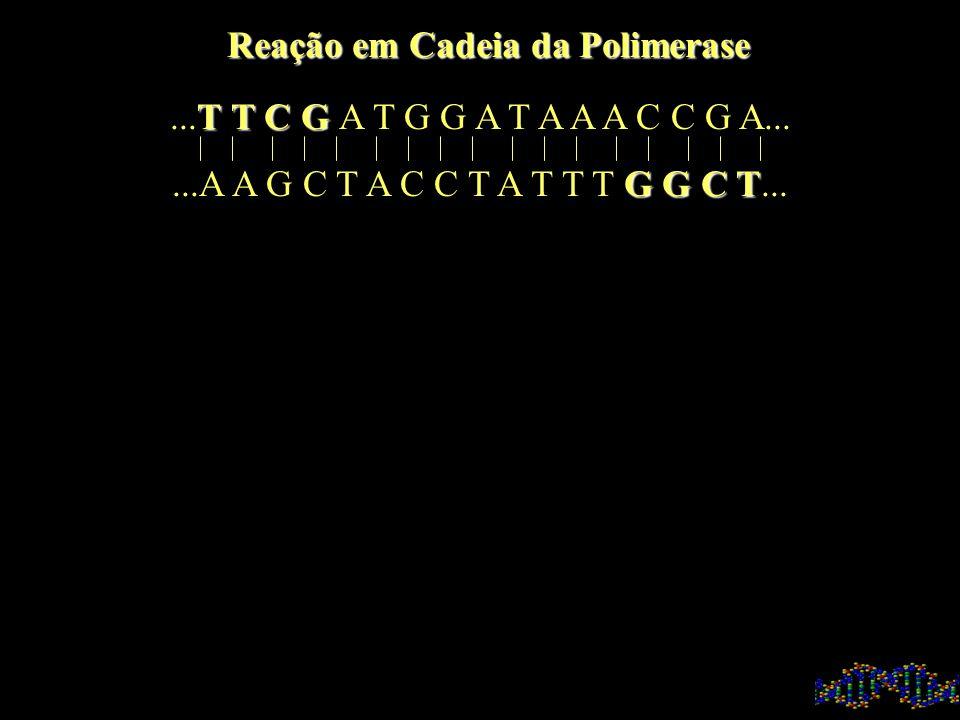 CONDIÇÔES DA PCR Temperatura: Desnaturação : 95 o C Anelamento: 60 o C Corrida: 72 o C Vários Ciclos: 30 Enzima: Taq Polimerase
