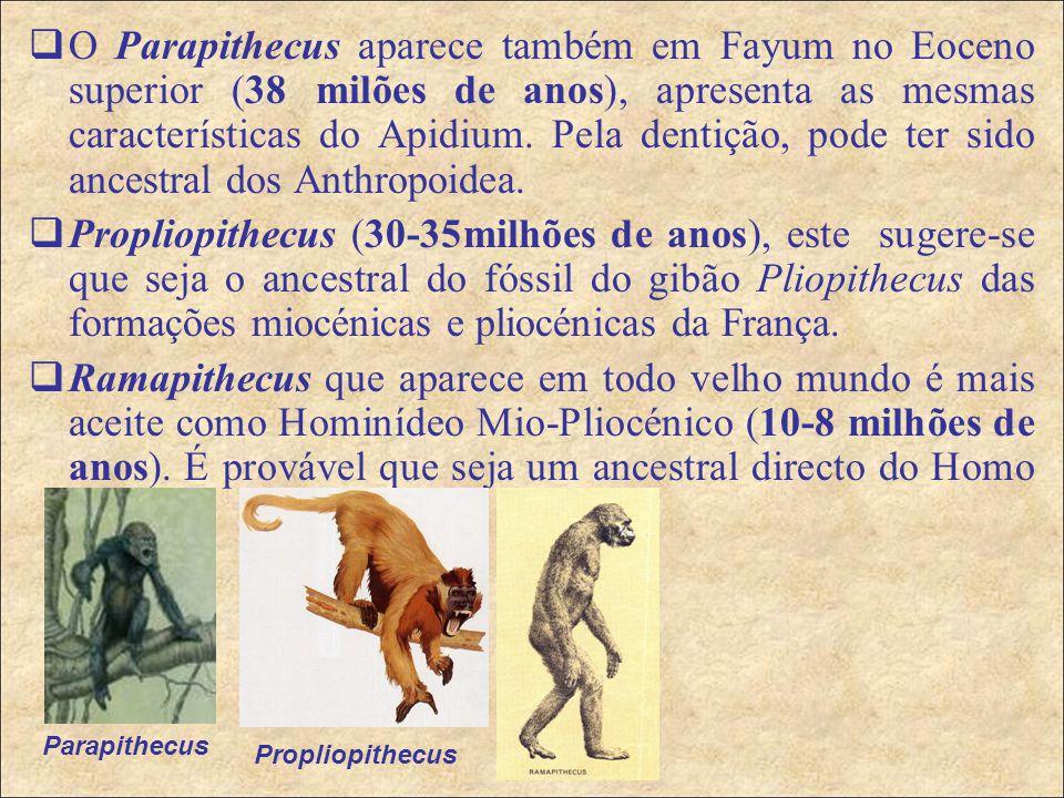  O Parapithecus aparece também em Fayum no Eoceno superior (38 milões de anos), apresenta as mesmas características do Apidium.