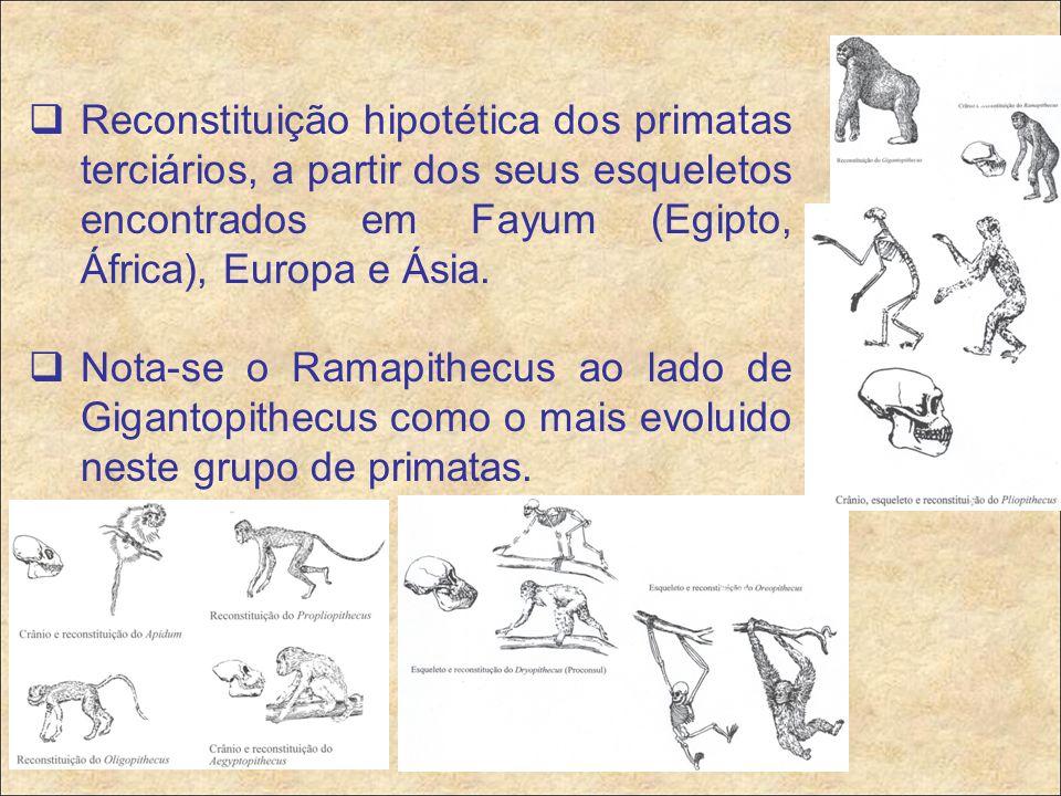  Reconstituição hipotética dos primatas terciários, a partir dos seus esqueletos encontrados em Fayum (Egipto, África), Europa e Ásia.