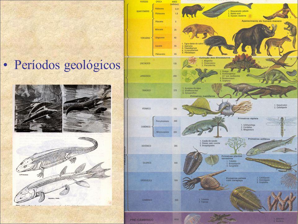 Radiação dos primatas  Cretácio Superior/Paleoceno Inferior-primatas muito primitivos com o tamanho muito reduzido que se compara com os insectívoros Purgatorius(Plesiadapiformes);  Paleoceno Superior/Eoceno Inferior (Lemurformes e Tarsierformes);  Eoceno Superior/Oligoceno Inferior-primatas superiores primitivos (arboreos, quadrupedes com cérebro relativamente maior;  Oligoceno Superior/Mioceno Inferior-primatas superiores quadrupedes terrestres e arbóreos;  Final do Terciário/Quaternário-vários macacos superiores com o esmalte fino nos dentes, surge e desenvolvem-se os Hominídeos.