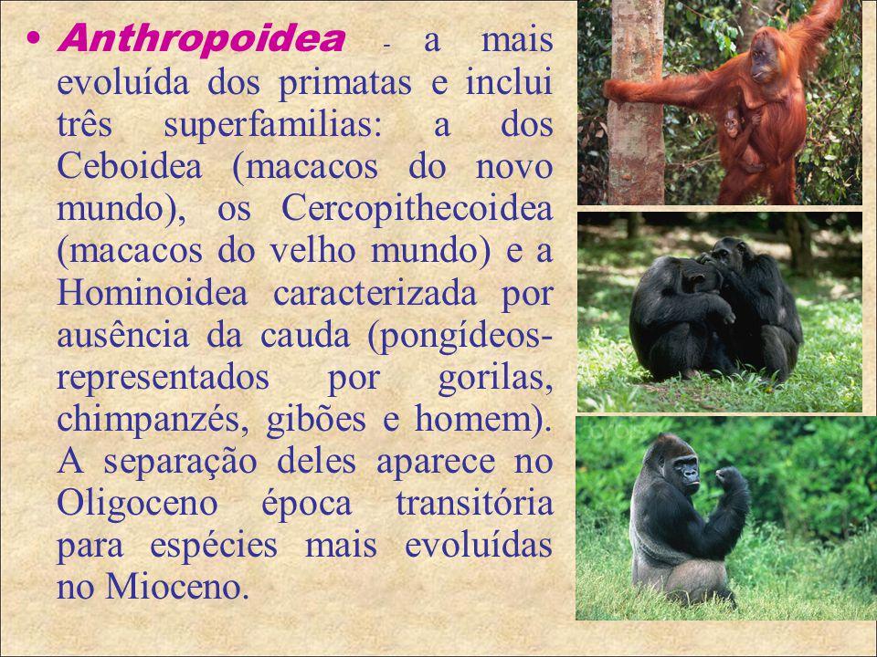 Anthropoidea - a mais evoluída dos primatas e inclui três superfamilias: a dos Ceboidea (macacos do novo mundo), os Cercopithecoidea (macacos do velho mundo) e a Hominoidea caracterizada por ausência da cauda (pongídeos- representados por gorilas, chimpanzés, gibões e homem).