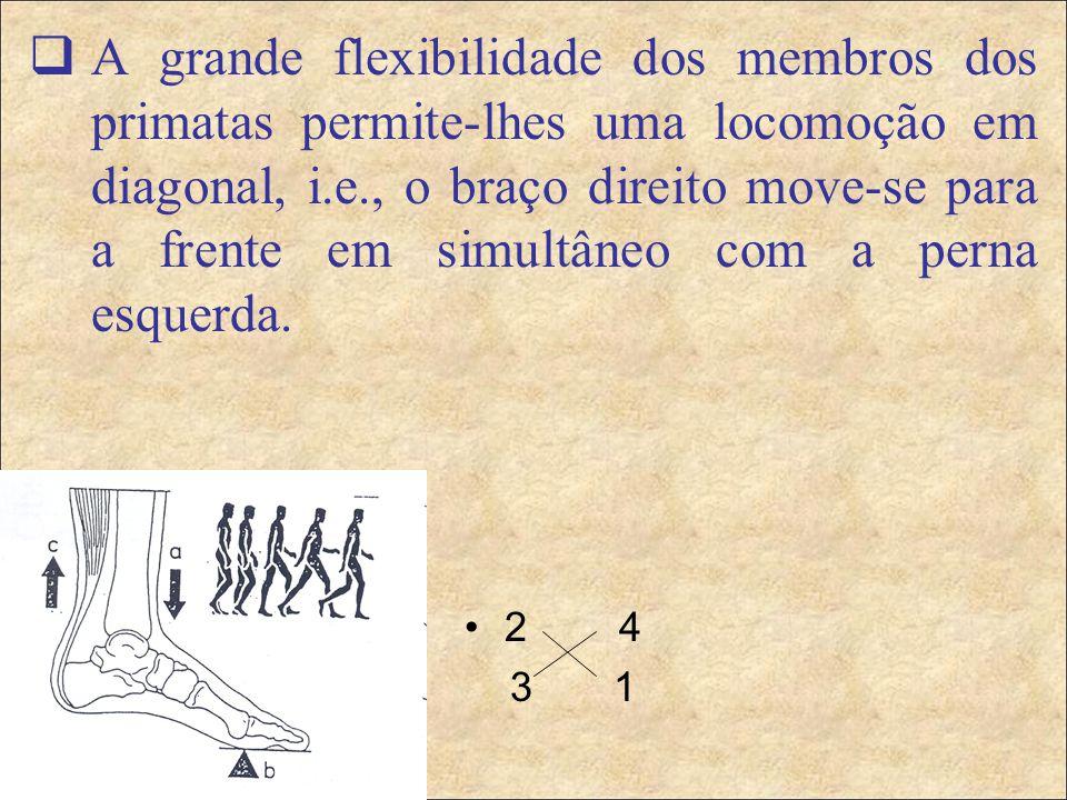 2 4 3 1  A grande flexibilidade dos membros dos primatas permite-lhes uma locomoção em diagonal, i.e., o braço direito move-se para a frente em simultâneo com a perna esquerda.