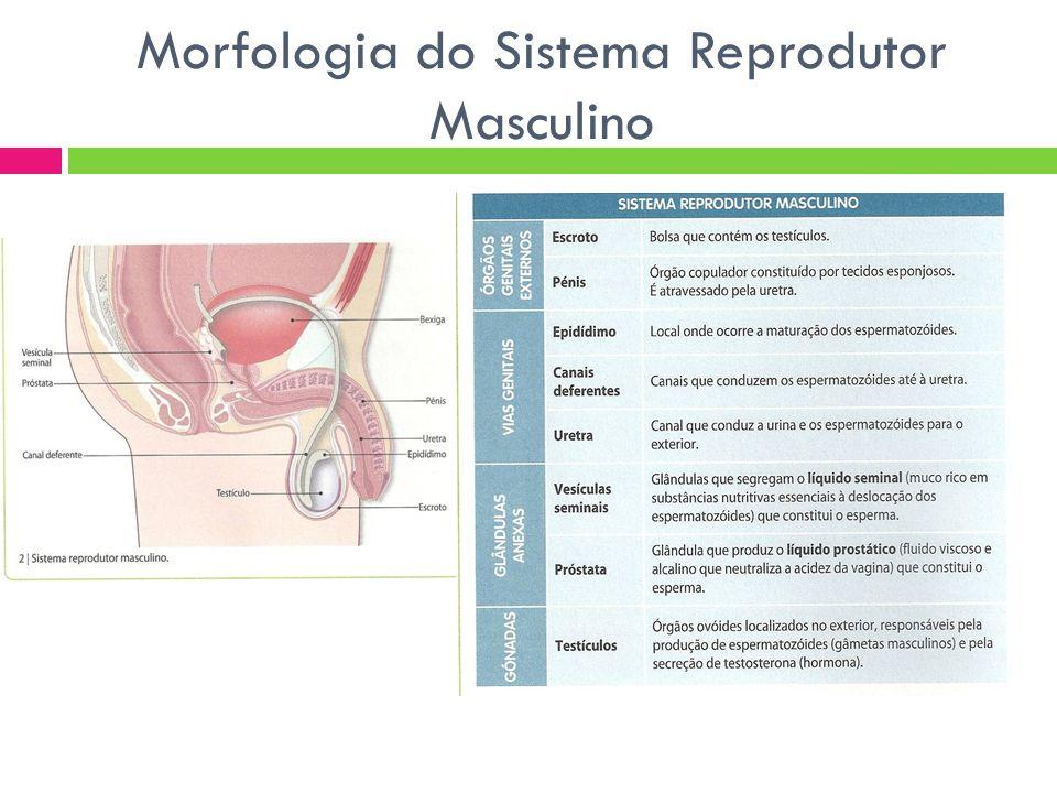 Morfologia do Sistema Reprodutor Masculino