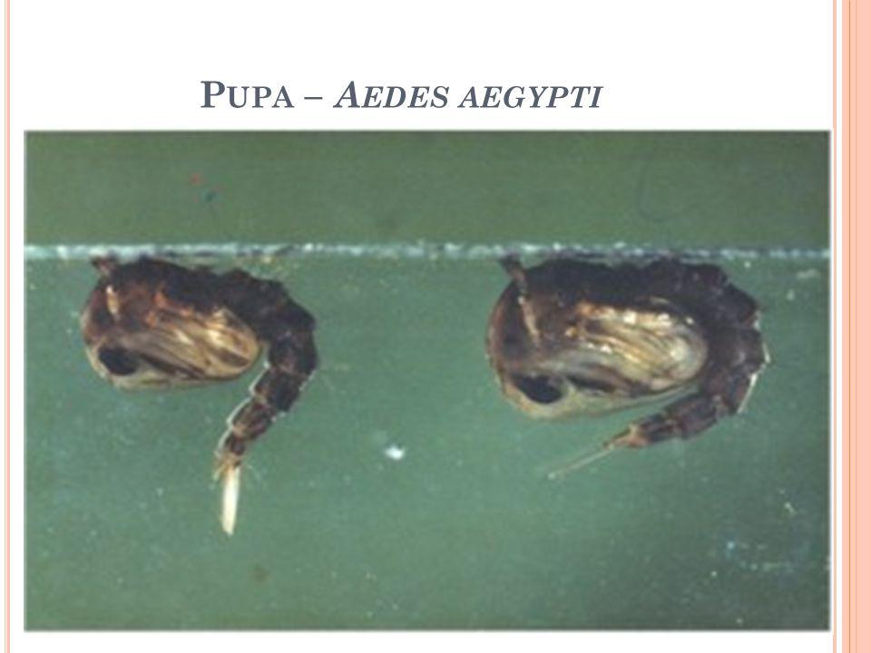P UPA – A EDES AEGYPTI