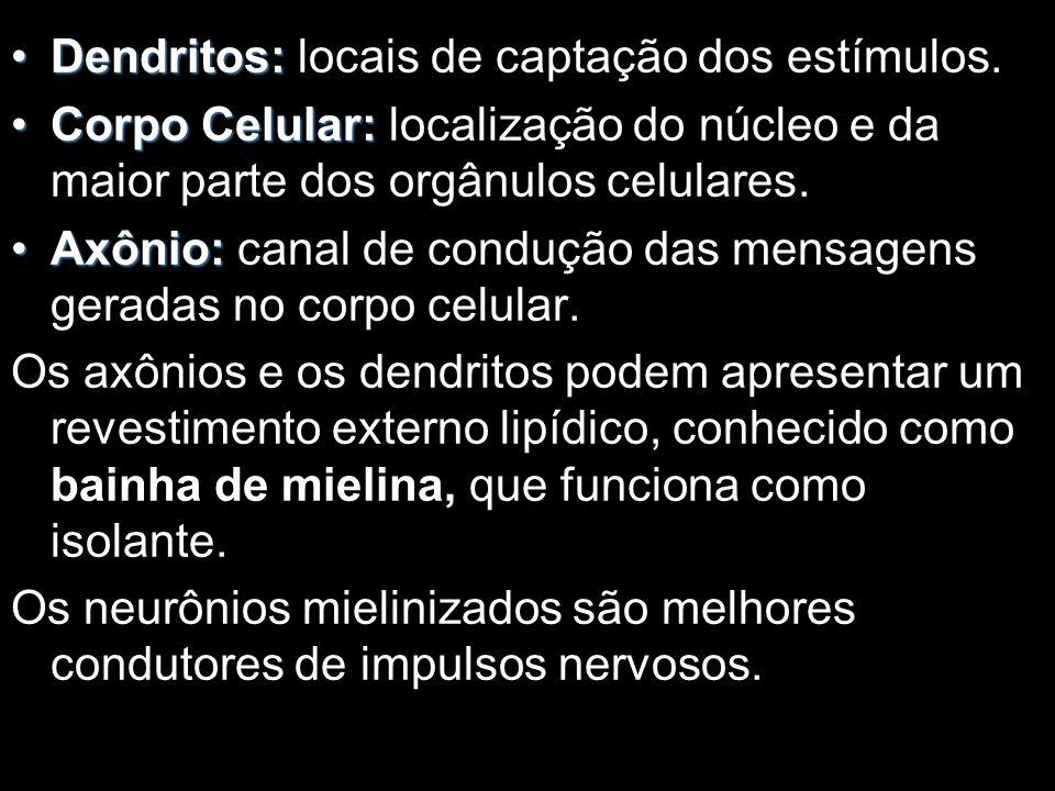 Dendritos:Dendritos: locais de captação dos estímulos.