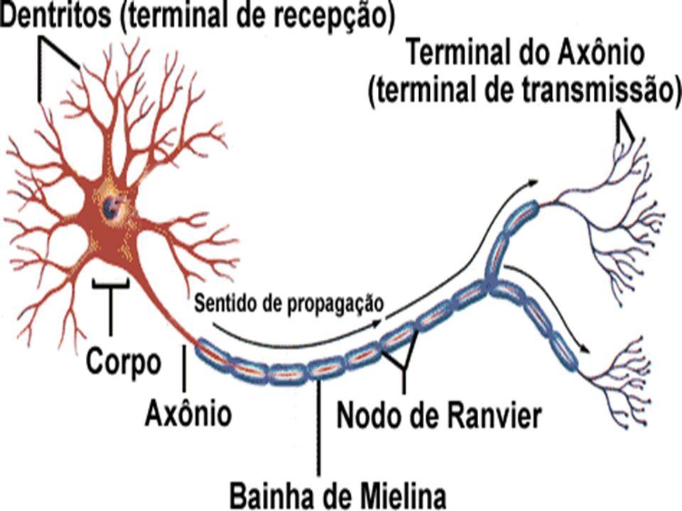 O impulso nervoso No estado de repouso o neurônio se apresenta polarizado (membrana plasmática é carregada positivamente do lado externo e negativamente do lado interno), devido a diferença de íons sódio e potássio dentro e fora da célula.