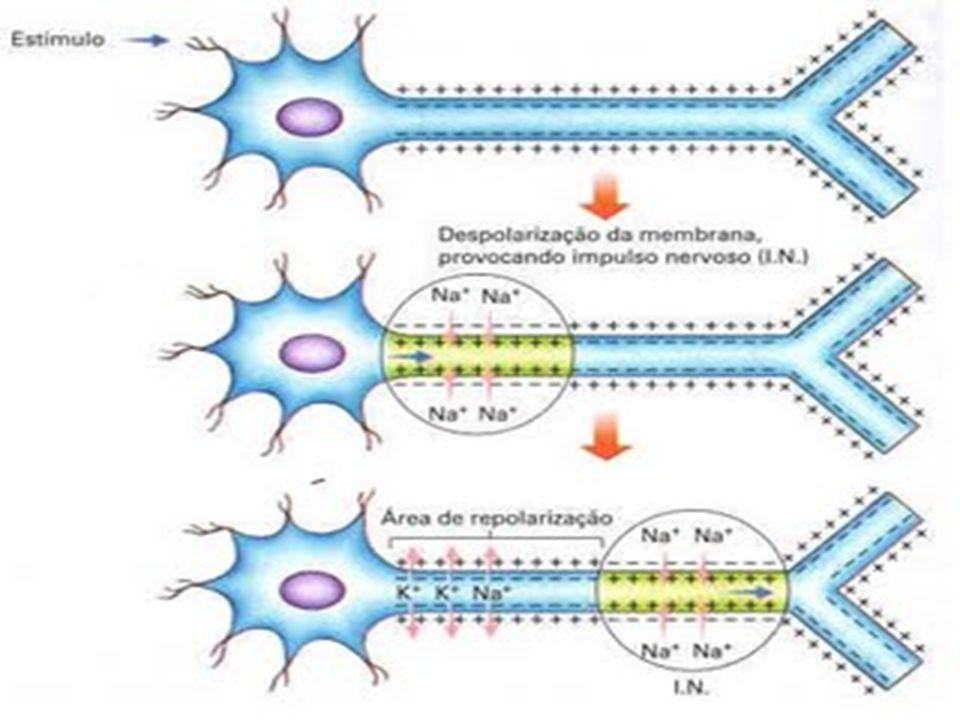 Arco reflexo: Um trabalho em equipe O ato de mover a perna envolve a participação de três tipos de neurônios: sensitivo, de associação e o motor.