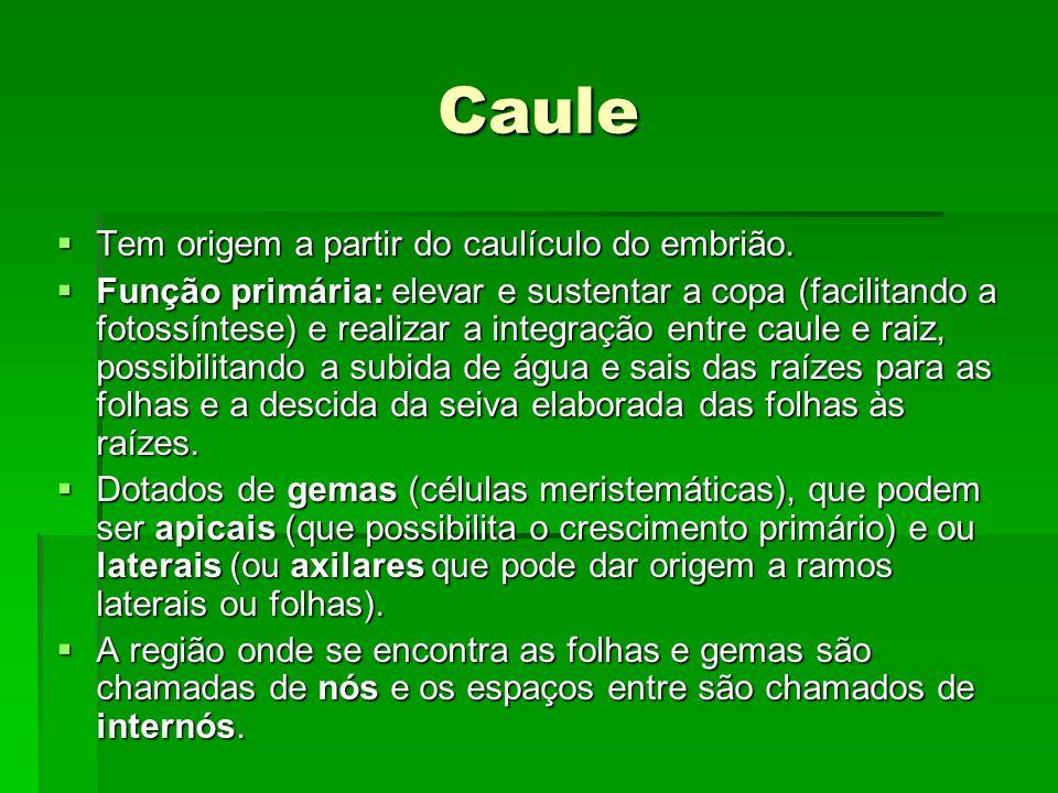 Caule  Tem origem a partir do caulículo do embrião.  Função primária: elevar e sustentar a copa (facilitando a fotossíntese) e realizar a integração