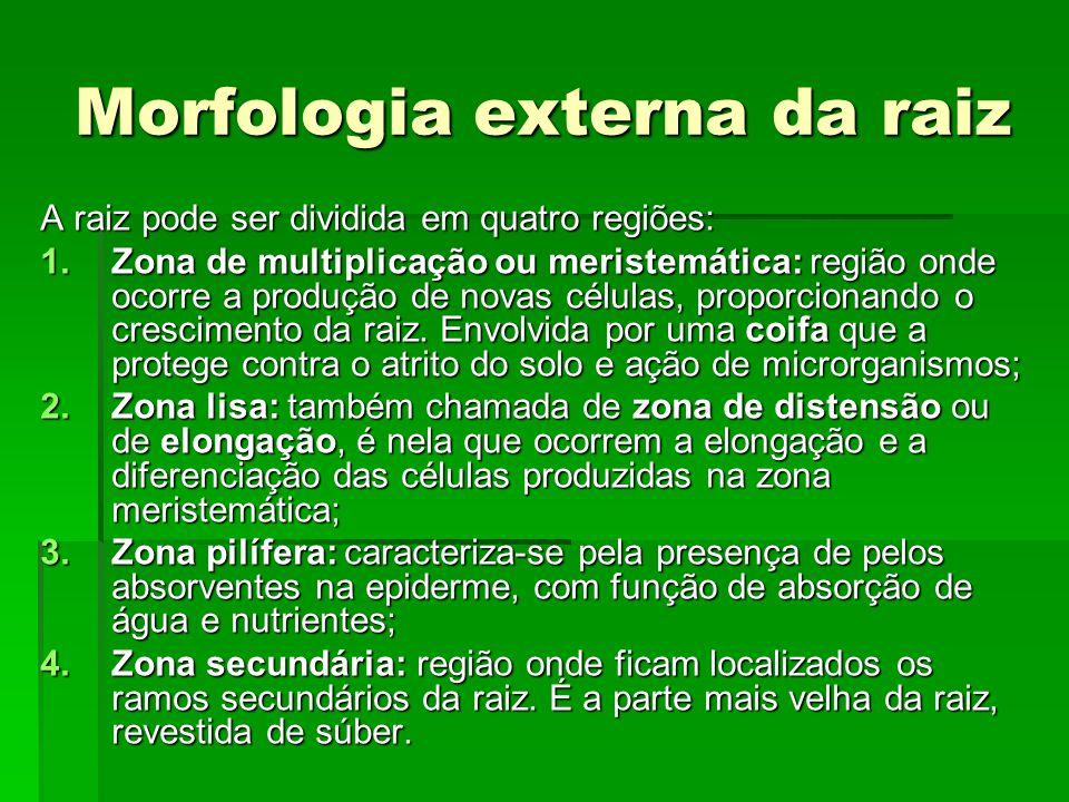 Morfologia externa da raiz A raiz pode ser dividida em quatro regiões: 1.Zona de multiplicação ou meristemática: região onde ocorre a produção de nova