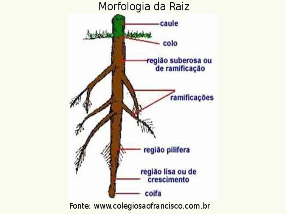  Anéis de crescimento Um tronco cortado transversalmente mostra círculos concêntricos de xilema chamados de anéis de crescimento.