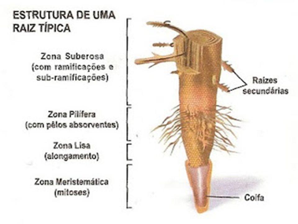 Morfologia interna da raiz  Junto com o crescimento primário da raiz ocorre também o crescimento secundário (em espessura), podemos então falar de estrutura primária e estrutura secundária.