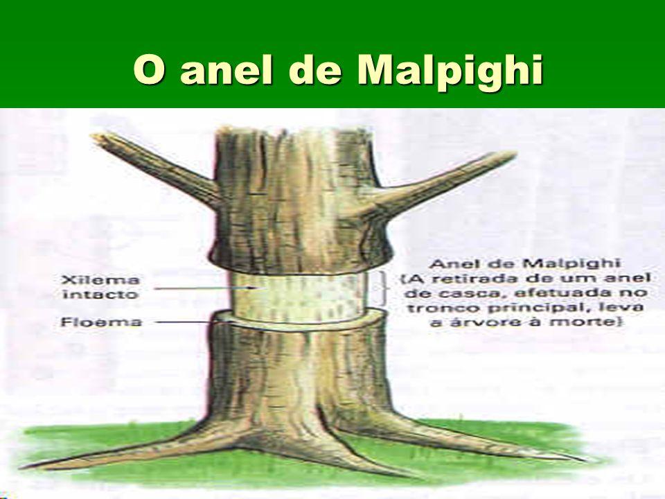O anel de Malpighi