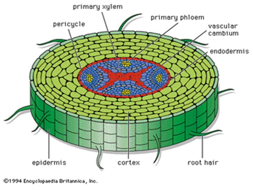  Fotossíntese das células-guardas: ao receberem a luz, as células-guardas realizam fotossíntese produzindo glicose, aumentando assim a sua concentração, abrindo os estômatos.