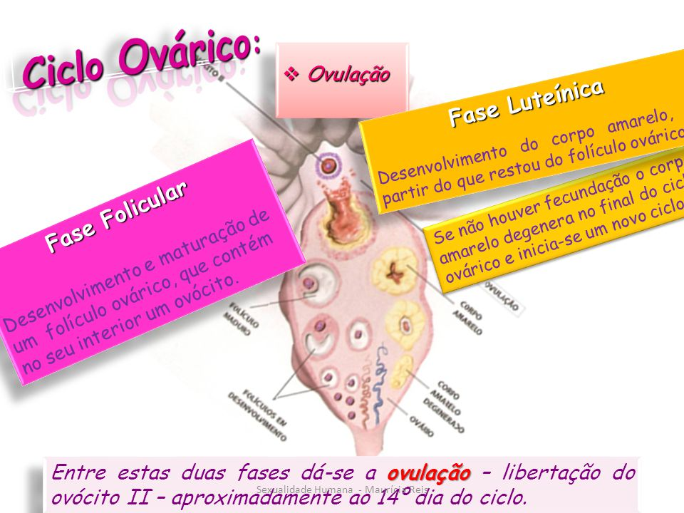 Fase Folicular Desenvolvimento e maturação de um folículo ovárico, que contém no seu interior um ovócito.