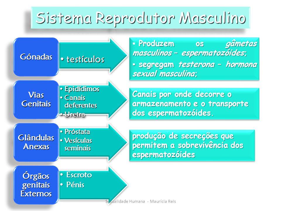 testículostestículos Gónadas EpidídimosEpidídimos Canais deferentesCanais deferentes UretraUretra Vias Genitais PróstataPróstata Vesículas seminaisVesículas seminais Glândulas Anexas EscrotoEscroto PénisPénis Órgãos genitais Externos Sexualidade Humana - Maurícia Reis Produzem os gâmetas masculinos – espermatozóides;  Produzem os gâmetas masculinos – espermatozóides;  segregam testerona – hormona sexual masculina; Produzem os gâmetas masculinos – espermatozóides;  Produzem os gâmetas masculinos – espermatozóides;  segregam testerona – hormona sexual masculina; Canais por onde decorre o armazenamento e o transporte dos espermatozóides.
