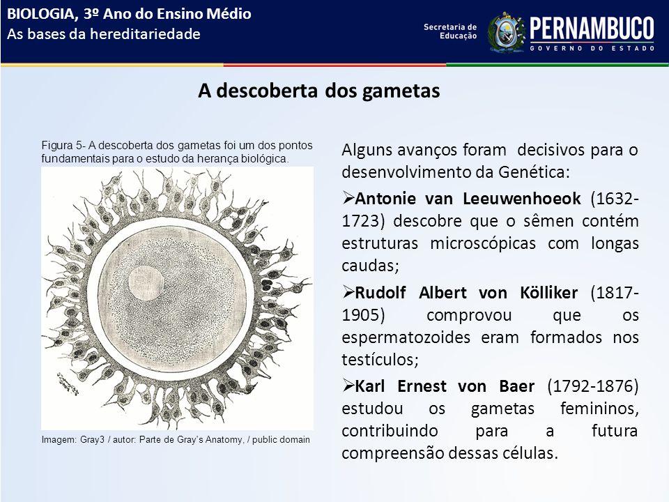 A descoberta dos gametas Alguns avanços foram decisivos para o desenvolvimento da Genética:  Antonie van Leeuwenhoeok (1632- 1723) descobre que o sêmen contém estruturas microscópicas com longas caudas;  Rudolf Albert von Kölliker (1817- 1905) comprovou que os espermatozoides eram formados nos testículos;  Karl Ernest von Baer (1792-1876) estudou os gametas femininos, contribuindo para a futura compreensão dessas células.