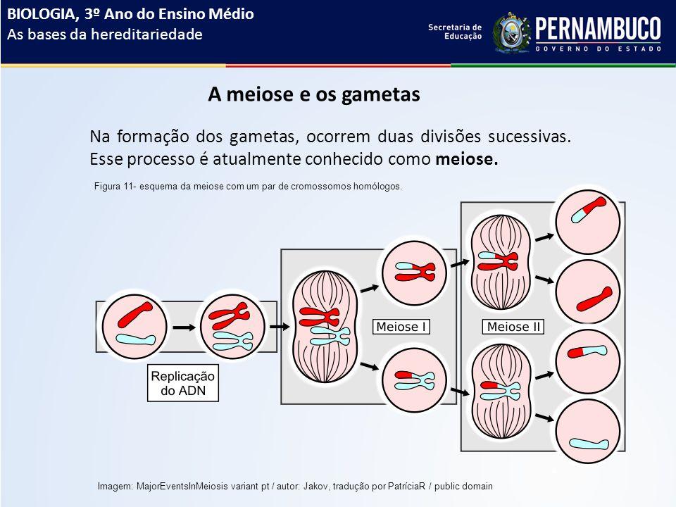 A meiose e os gametas Na formação dos gametas, ocorrem duas divisões sucessivas.